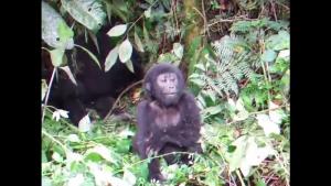 video_gorille