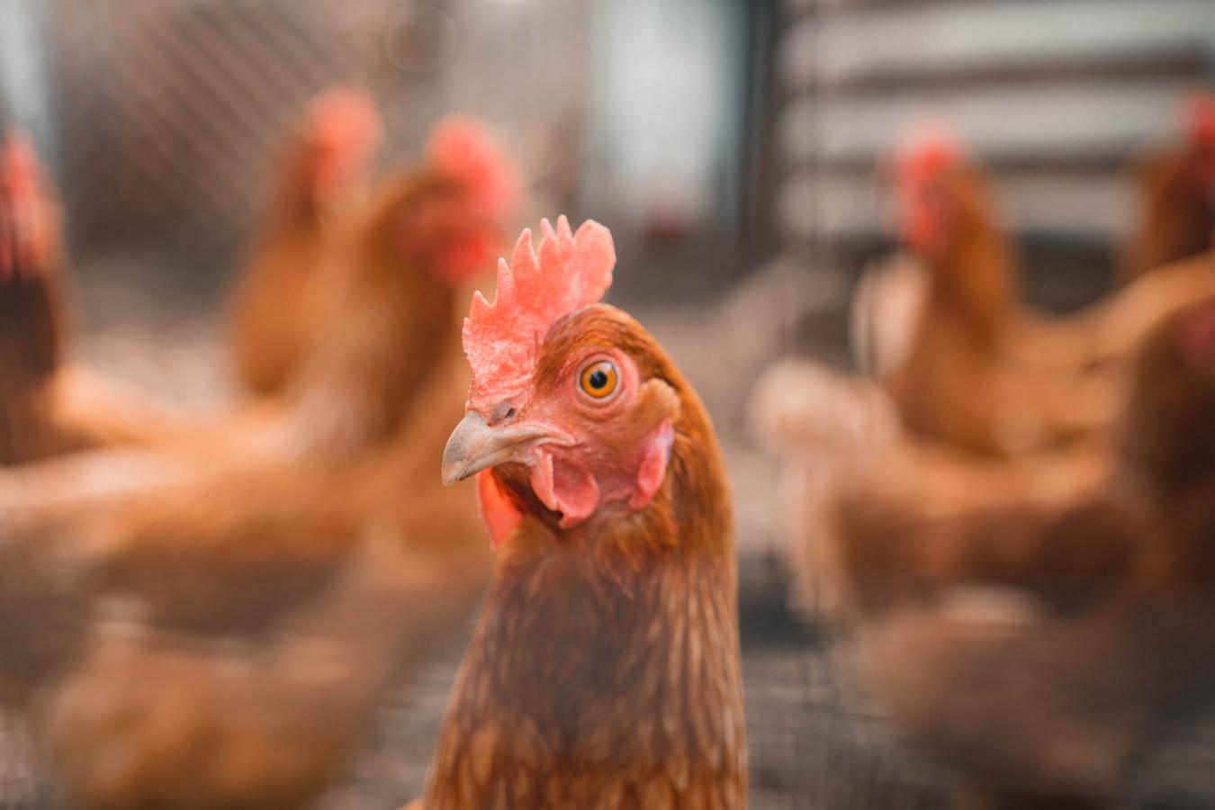 Des coqs et des poules dans un poulailler