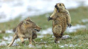 La marmotte terrifiée par une renarde