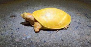 Une tortue jaune rare a été repérée dimanche à Odisha